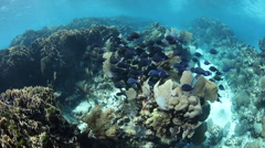 School of Blue Tang and Coral Reef Stock Footage