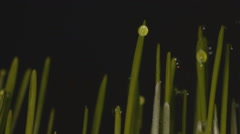 Stock Video Footage of wheat germination on a black background time-lapse