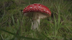 Wild Amanita Muscaria Fly Agaric Mushroom In Full Bloom Stock Footage