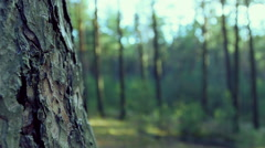 Old tree bark texture. Sunny forest. Stock Footage