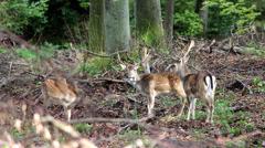 Wild deer herd in woods Stock Footage