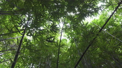 CLOSE UP: Lush bamboo forest on a tropical island Stock Footage