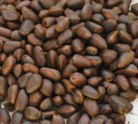 heap of cedar nuts - stock photo