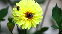 Bees on dahlia flower close up Stock Footage