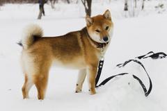Japanese dog breed Shiba Inu in snow - stock photo