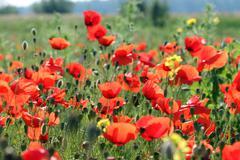Poppies flower meadow spring season - stock photo