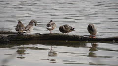 Ducks taking a rest on a floating log Stock Footage