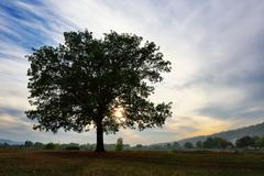 Stock Photo of Old detached oak tree at sunset in autumn
