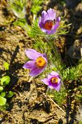 The dream grass -  Pulsatilla patens with flies Stock Photos