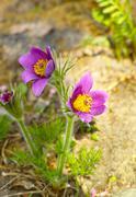The dream grass -  Pulsatilla patens Stock Photos