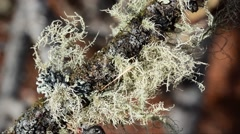 Fruticose Lichens,  Close-Up, Lichen, Gran Paradiso National Park,  Stock Footage
