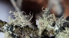 Fruticose Lichens,  Close-Up, Lichen, Gran Paradiso National Park, Italy Stock Footage