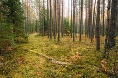 Path, pathway, way in wild autumn evergreen coniferous forest re Stock Photos