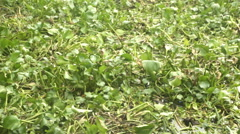 Water Hyacinth on river Stock Footage