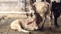 Calfs resting in farm Stock Footage