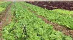 Water springer or sprinkler turning and watering the organic vegetable farm Stock Footage