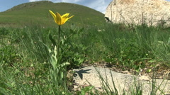 Yellow tulip flowers near the mountain road Stock Footage