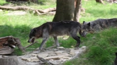 Wolf cross the river Stock Footage