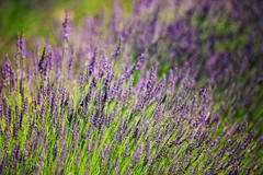 Lavender Flowers. Summer season. Close up. Background - stock photo