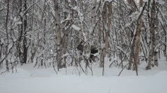 moose calf sprinting in snowy winter forest - stock footage