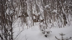 Moose calf and mother in snowy winter forest Stock Footage