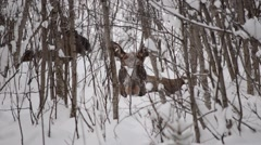 moose calf chewing food in winter forest with mother moose in the background - stock footage