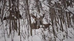 Moose calf chewing food in winter forest with mother moose in the background Stock Footage