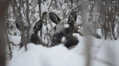 beautiful female mother moose and calf in cold winter forest landscape - stock footage