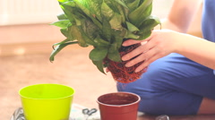 One Women Home Gardening Green Plant in a plastic pot Stock Footage