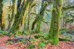 Hoh Rainforest view, Hall of mosses Stock Photos