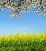 Spring landscape with rapeseed field Stock Photos