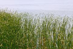 Reed plants on the lake shore Stock Photos