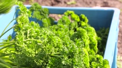Putting fresh picked parsley in a crate Stock Footage