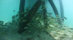 Grunts Schooling Beneath Caribbean Pier Stock Footage