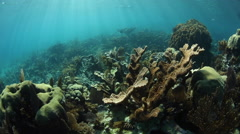 Elkhorn Corals on Caribbean Coral Reef Stock Footage