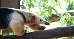 Giant anteater - Brazilian Tamanduá Bandeira - 4K Stock Footage