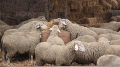 Sheep and barn full of straw Stock Footage