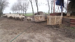 Shepherds follow the sheep into the fold Stock Footage
