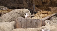 Sheep feeding on hay in the pen Stock Footage