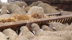 Hungry sheep eating hay Stock Footage