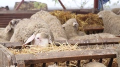 Sheep eating straw in the pen Stock Footage