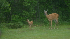 White Tail Deer With Fawn In The Summer Rain Stock Footage