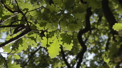 Autumnal Oak Leaves In The sunlight Stock Footage