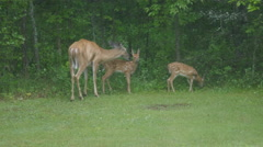 Female White Tailed Deer Grooming Her Fawn Arkistovideo