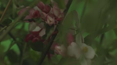 Red and white flowers in a bush. Green screen Stock Footage