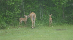 White Tailed Deer Mother And Two Fawns Arkistovideo