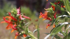 Pretty orange/red flower swaying in the breeze Stock Footage