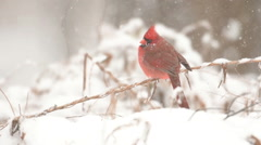 Slow Motion cardinal in the snow Stock Footage