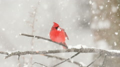 Slow Motion cardinal in the snow - stock footage