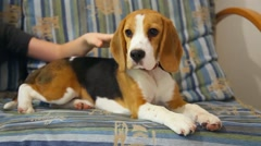 Tired 5 month old beagle puppy laying on sofa. Close up of face and legs - stock footage